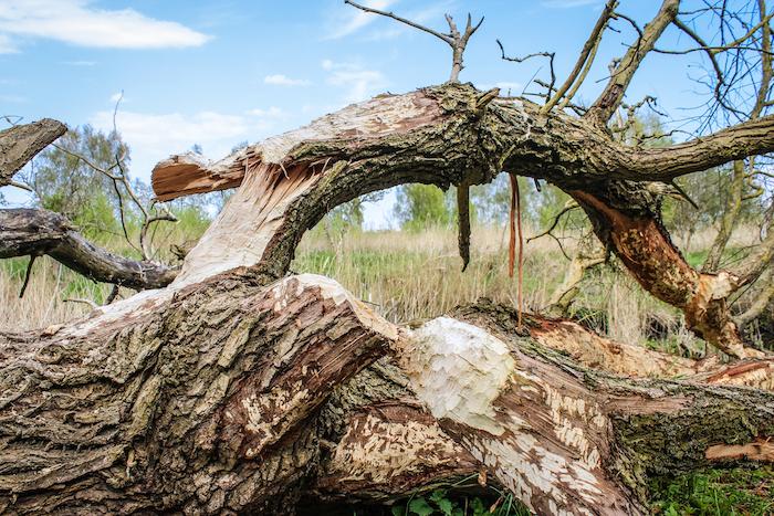 Biber Insel Safari Usedom
