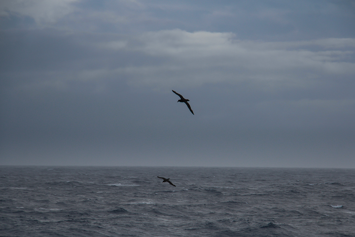 Drake Passage Voegel 1