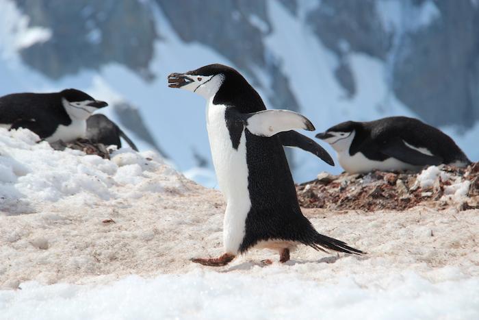 Nestbauender Pinguin Orne Harbour
