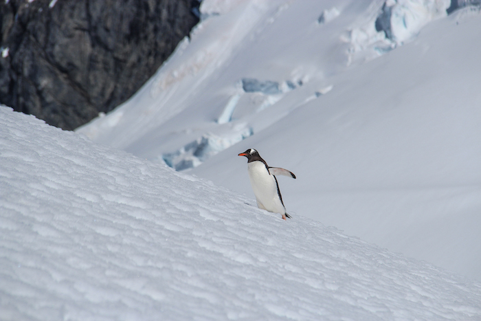 Pinguin Coverville Island