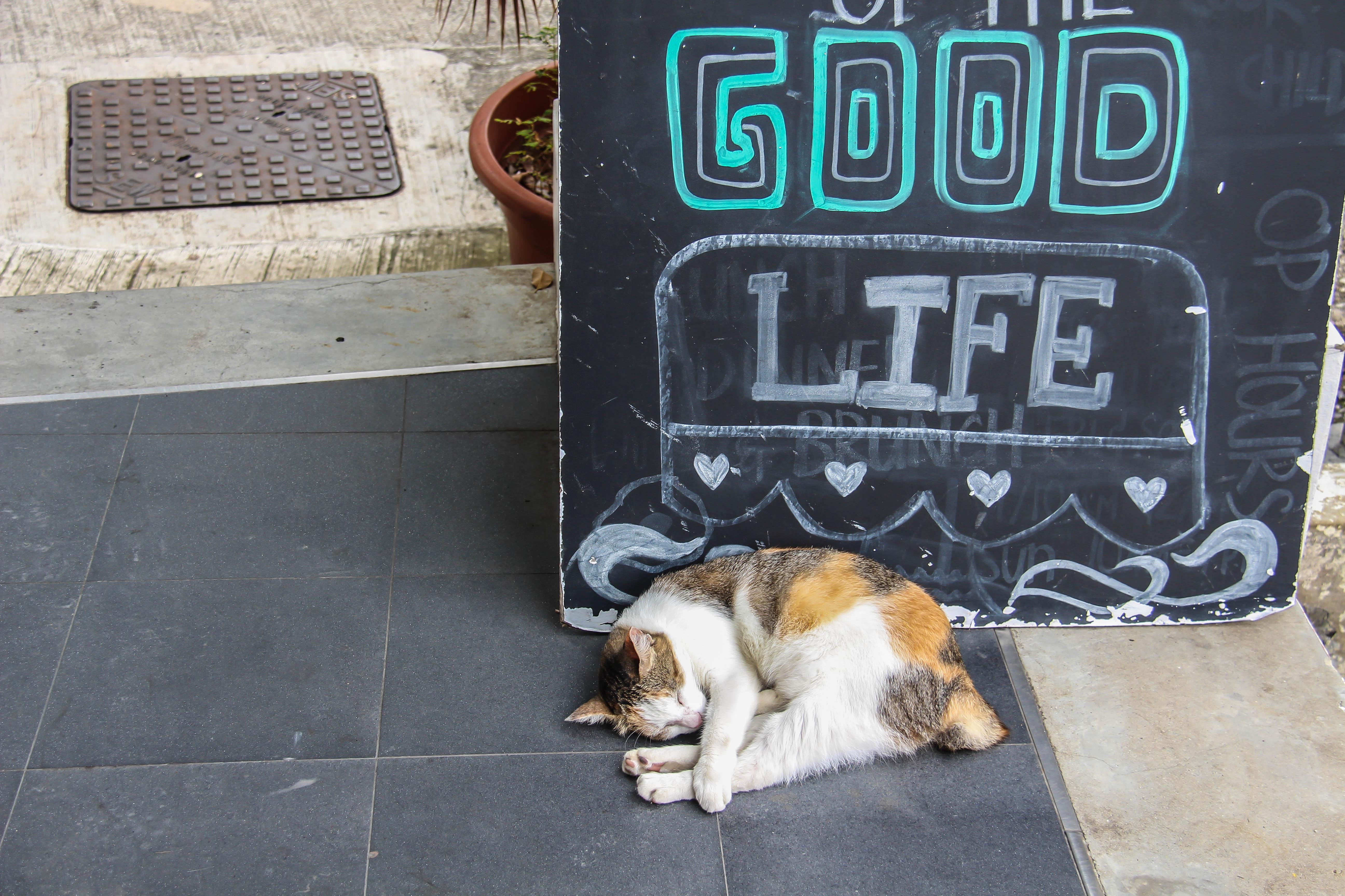 Singapore Katze