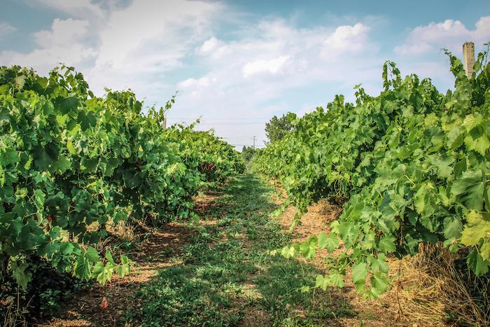 Weinanbau Bologna