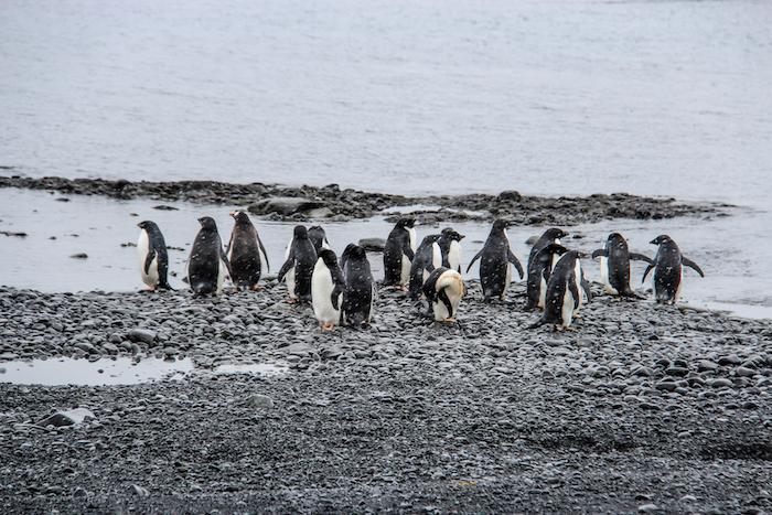Brown Bluff Antarktis Pinguinversammlung