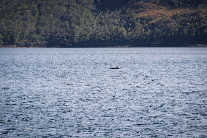 Seiwale Patagonien MS Midnatsol