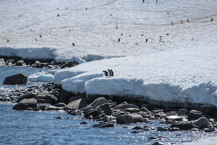 Cuverville Island Pinguine am Wasser